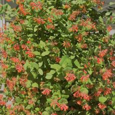 honeysuckle bush on patio