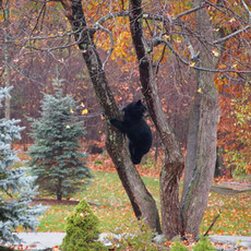 Bear in our tree taken by my late brother Michael Crowley