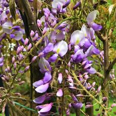 wisteria up close
