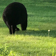 Another visit from a bear