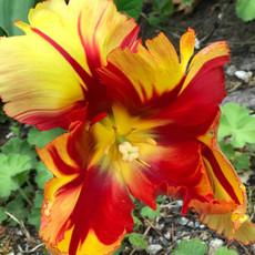 yellow orange tulip