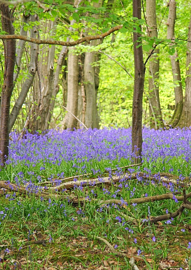 Bluebell walks at White Lodge B&B Sussex