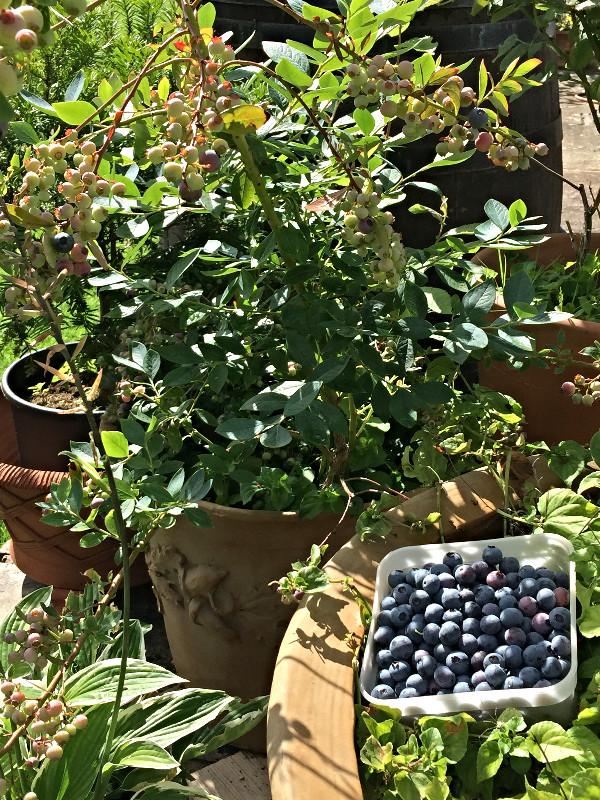 White Lodge B&B Lewes Homegrown Blueberries