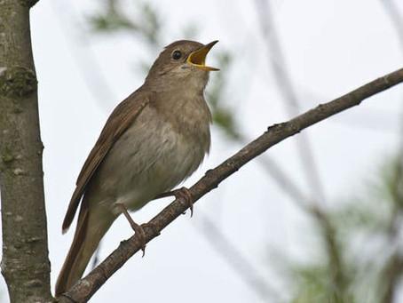 Singing With Nightingales!