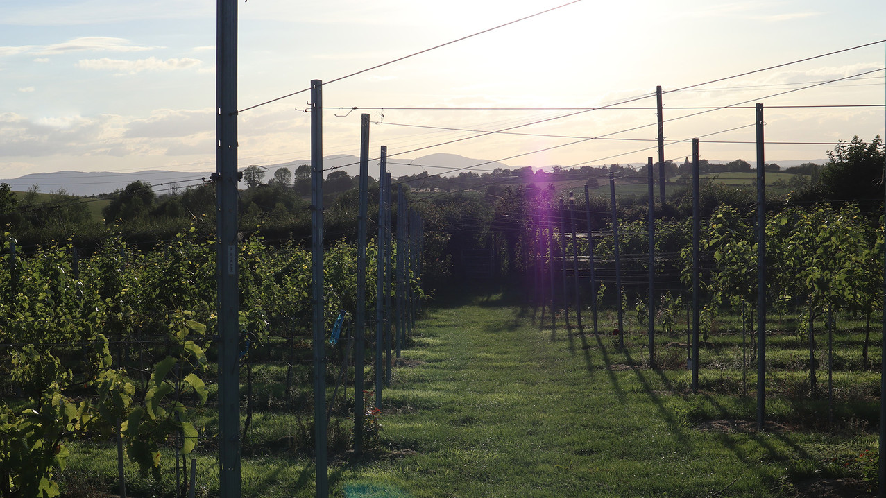 Sunset in the Vineyard - July 2020