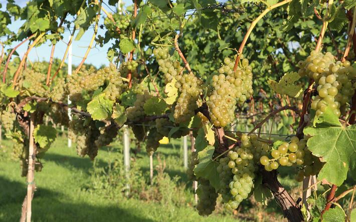 Chardonnay - September 2020
