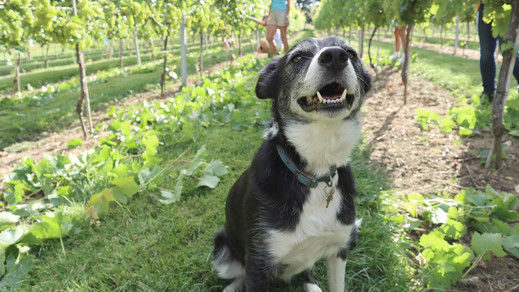 Bess in the Vines - August 2020