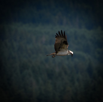 Oregon_HoodRiver_Osprey_02.jpg