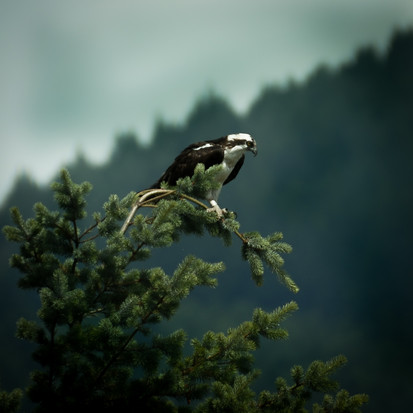 Oregon_HoodRiver_Osprey_01.jpg