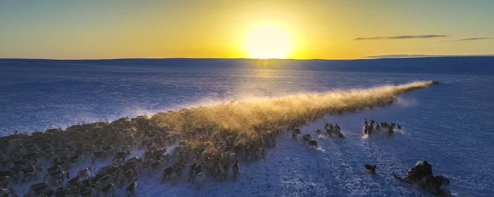 Drone filming av reinsdyr