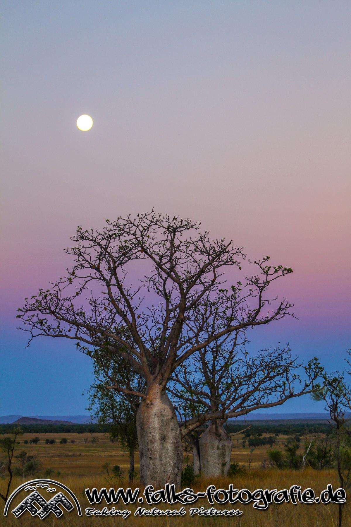 Boab-Bäume_bei_Sonnenuntergang_in_den_Kimberleys_5