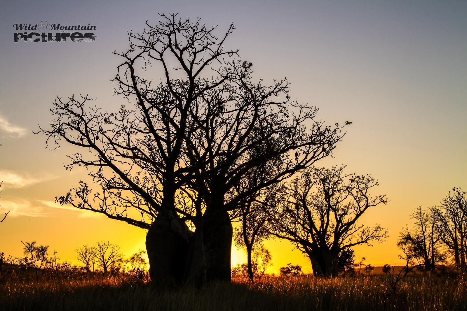 Boab-Bäume_bei_Sonnenuntergang_in_den_Kimberleys_06_1