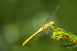 Große Libelle Closeup