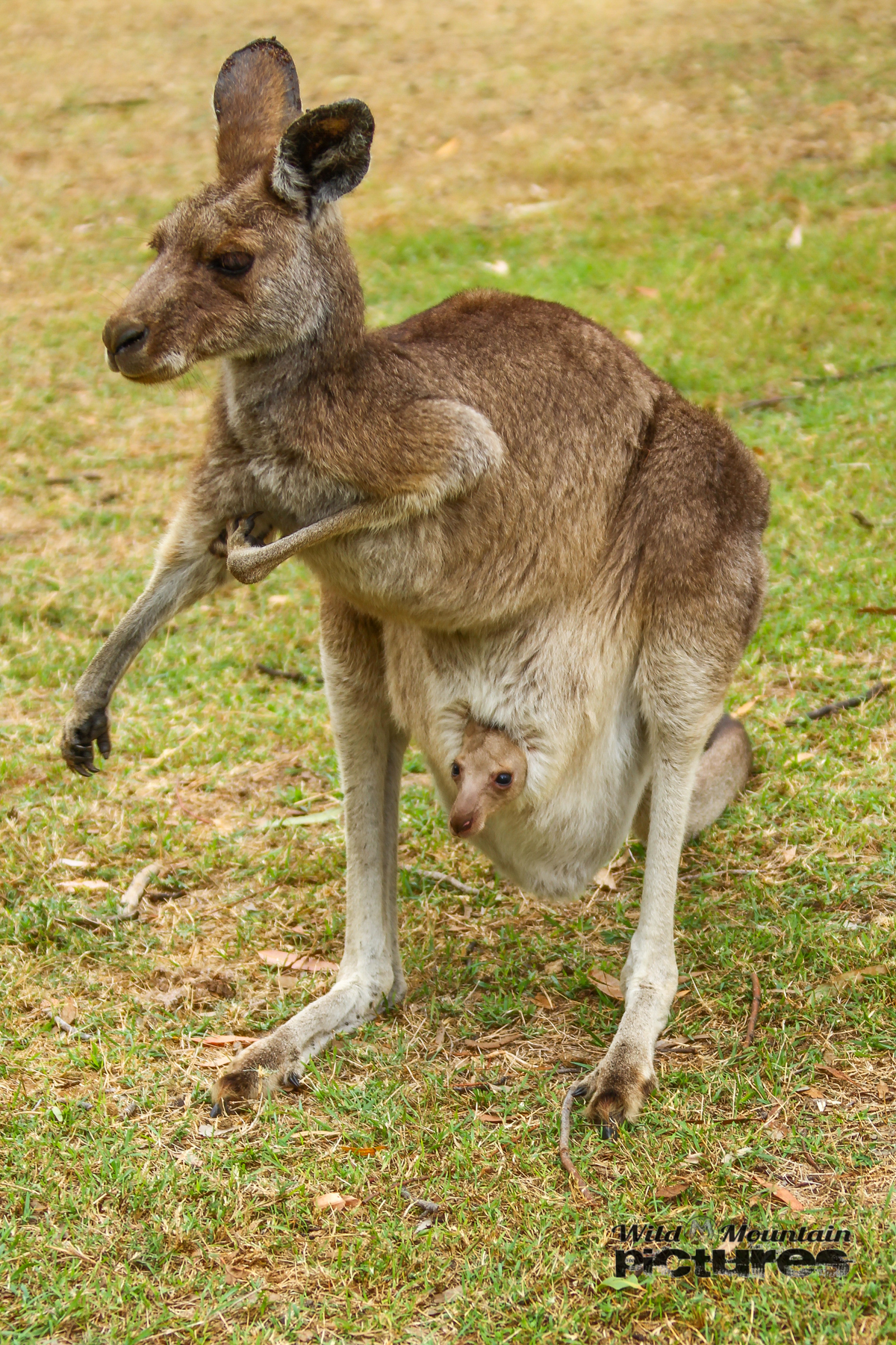 Känguru And Joey
