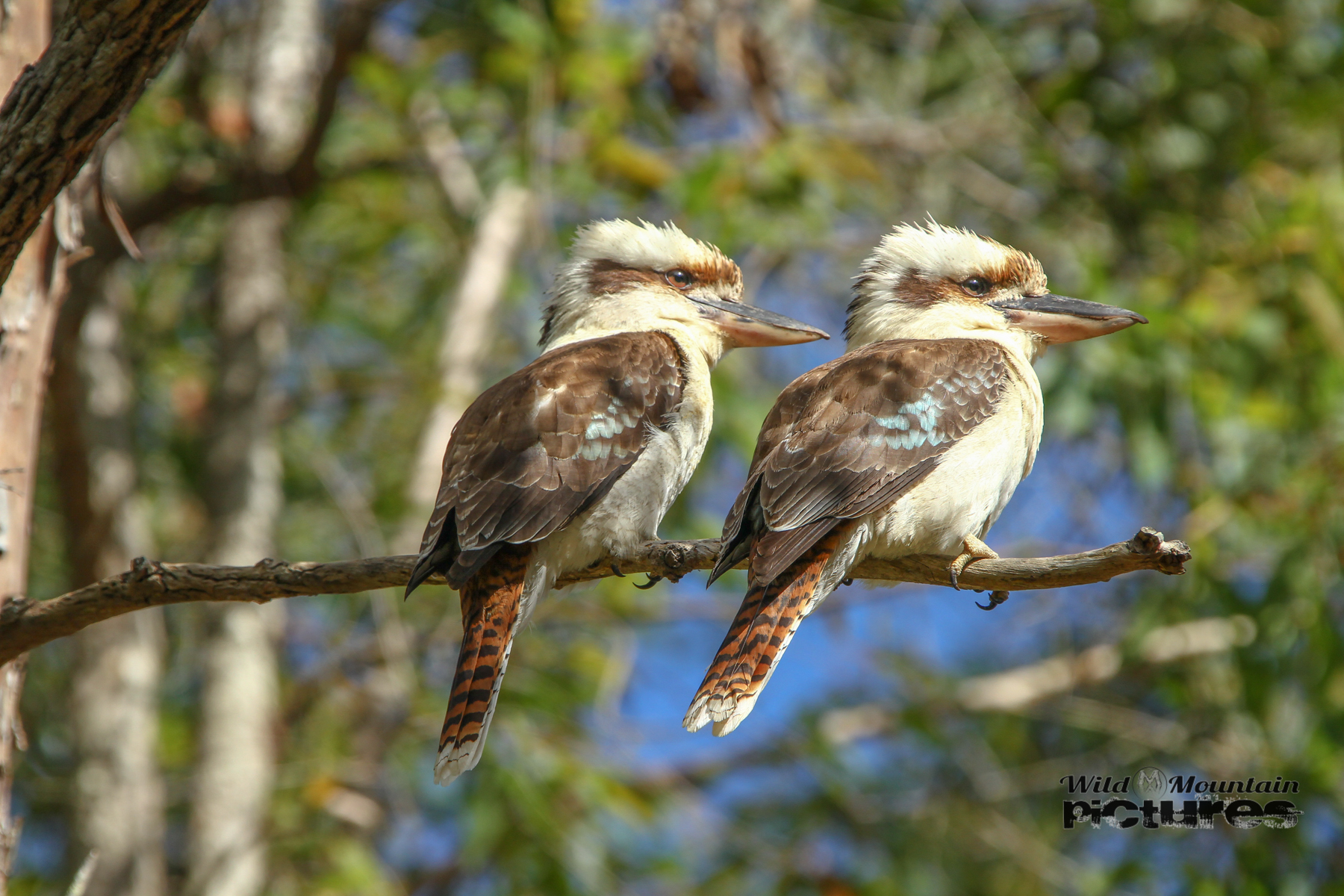 Two Kookaburras
