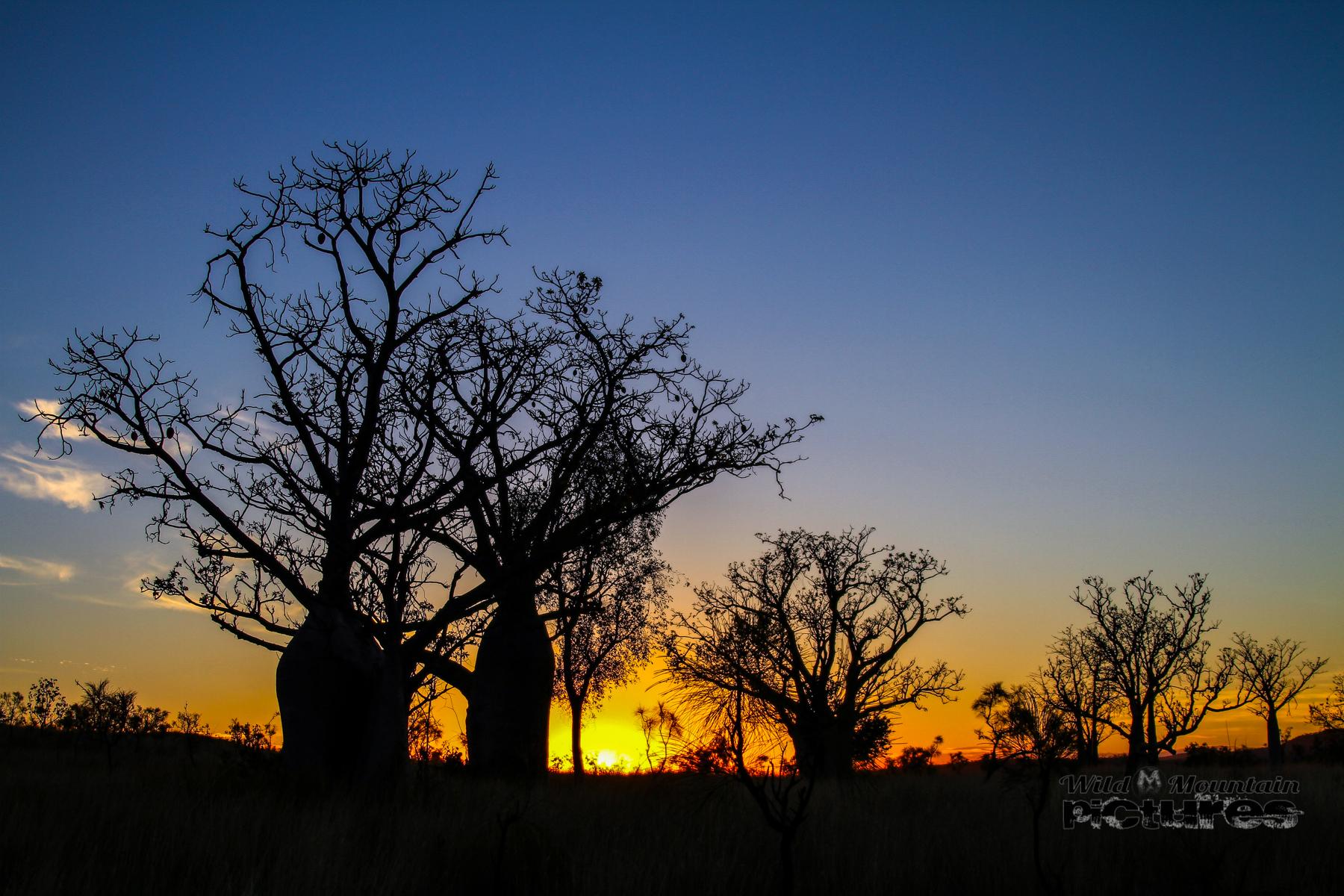 Boab-Bäume_bei_Sonnenuntergang_in_den_Kimberleys_20_1