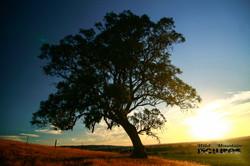 Tree At Barossa Valley