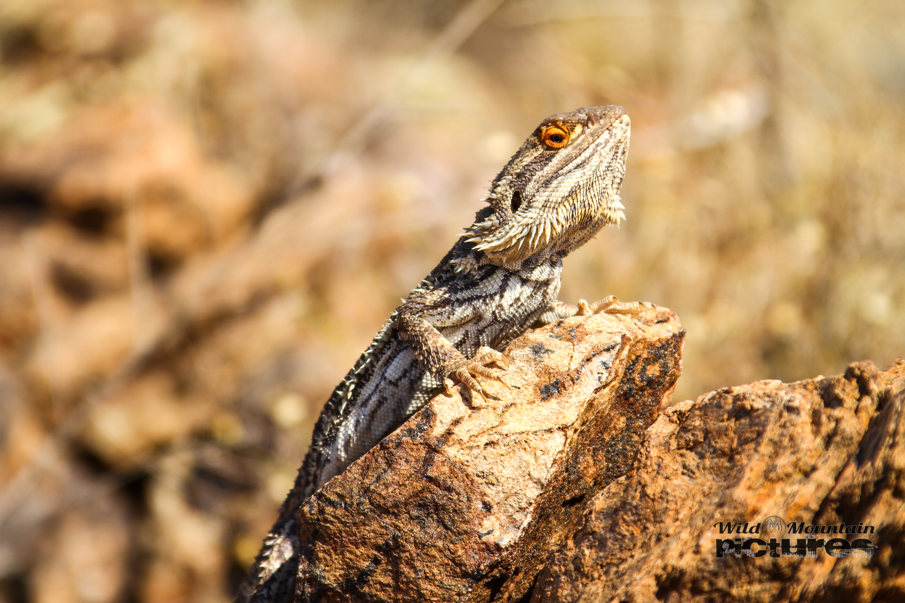 Dragon In The Outback