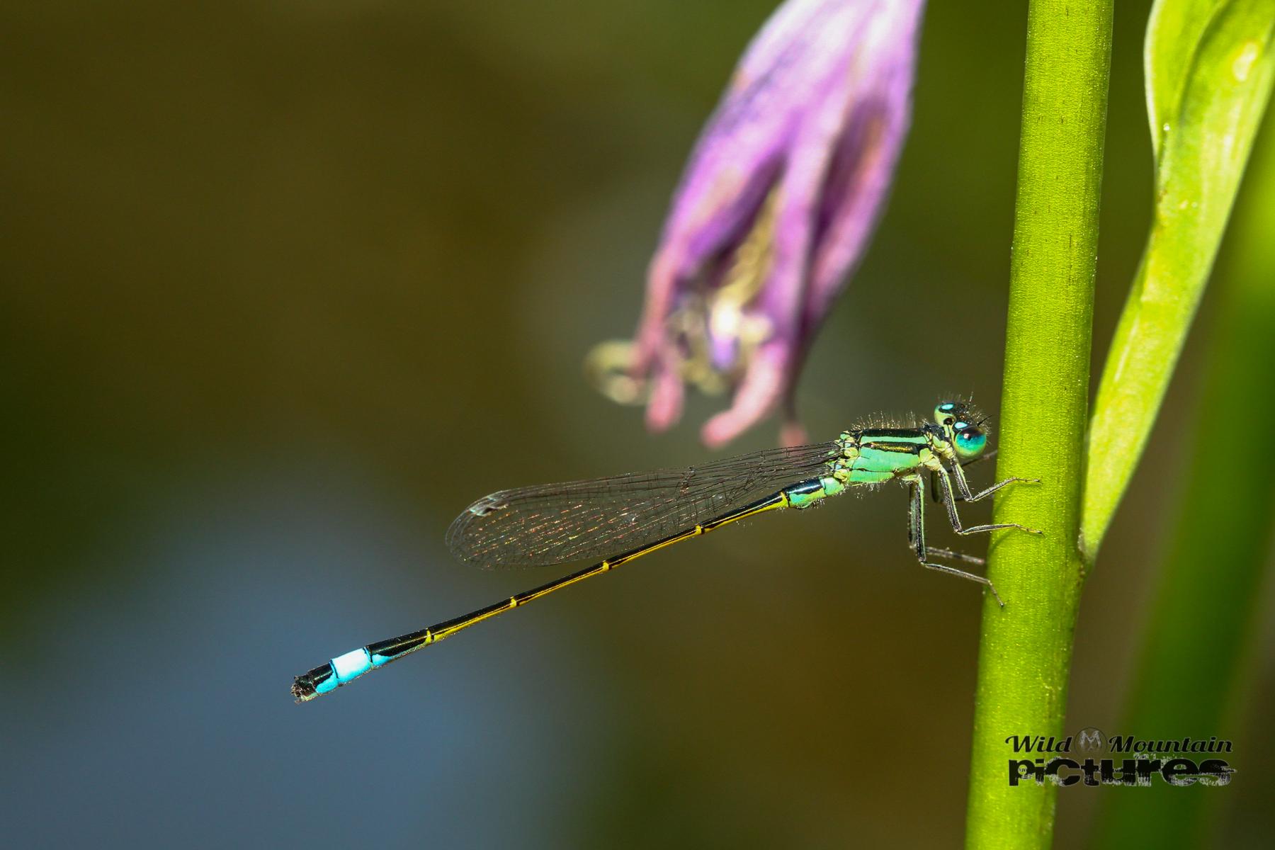 Grüne Kleine Libelle