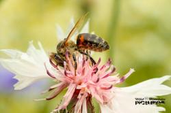 Biene auf Rosa Kornblume