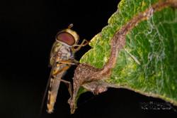 Schwebfliege Closeup