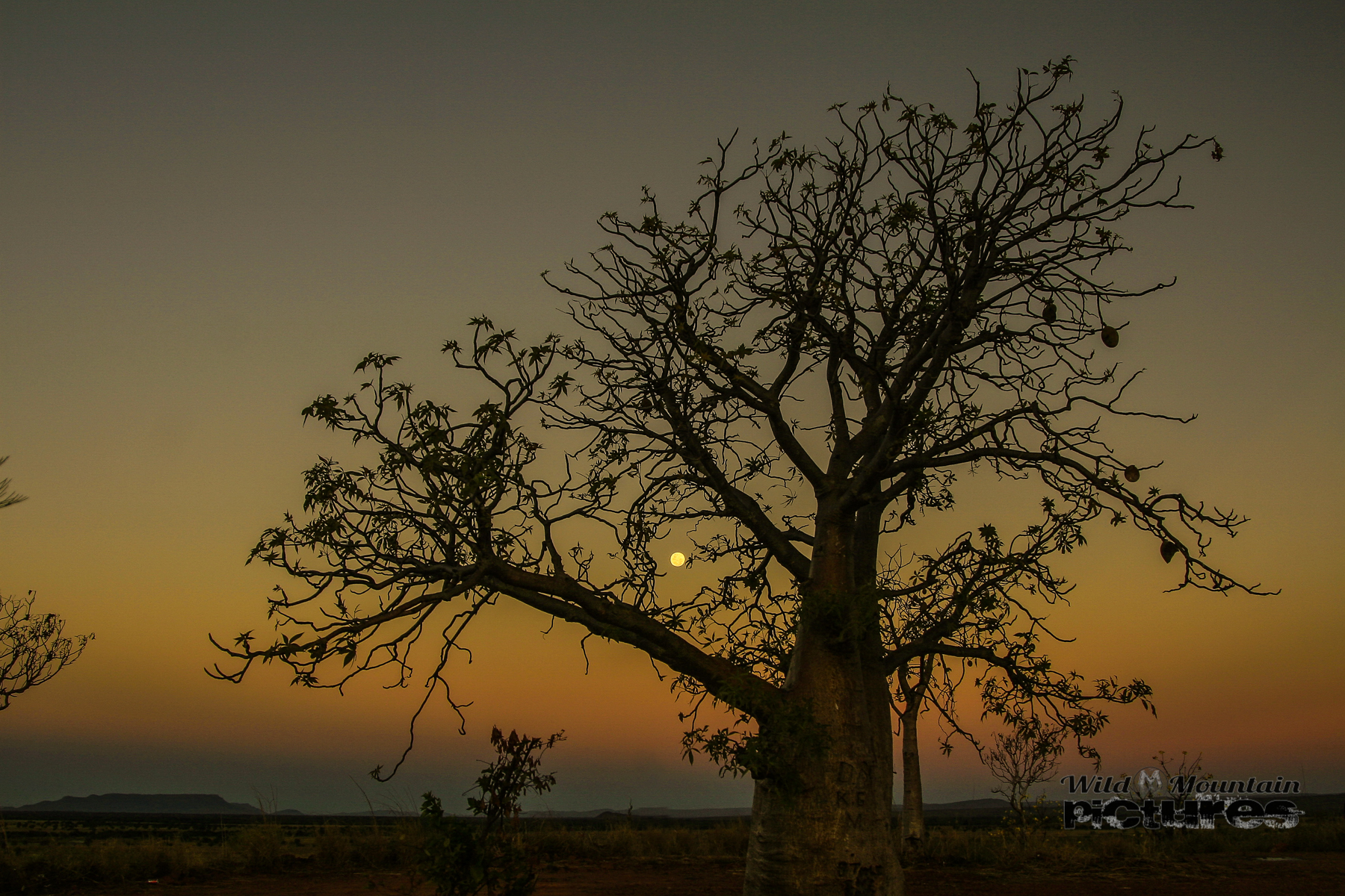 Boab And The Moon