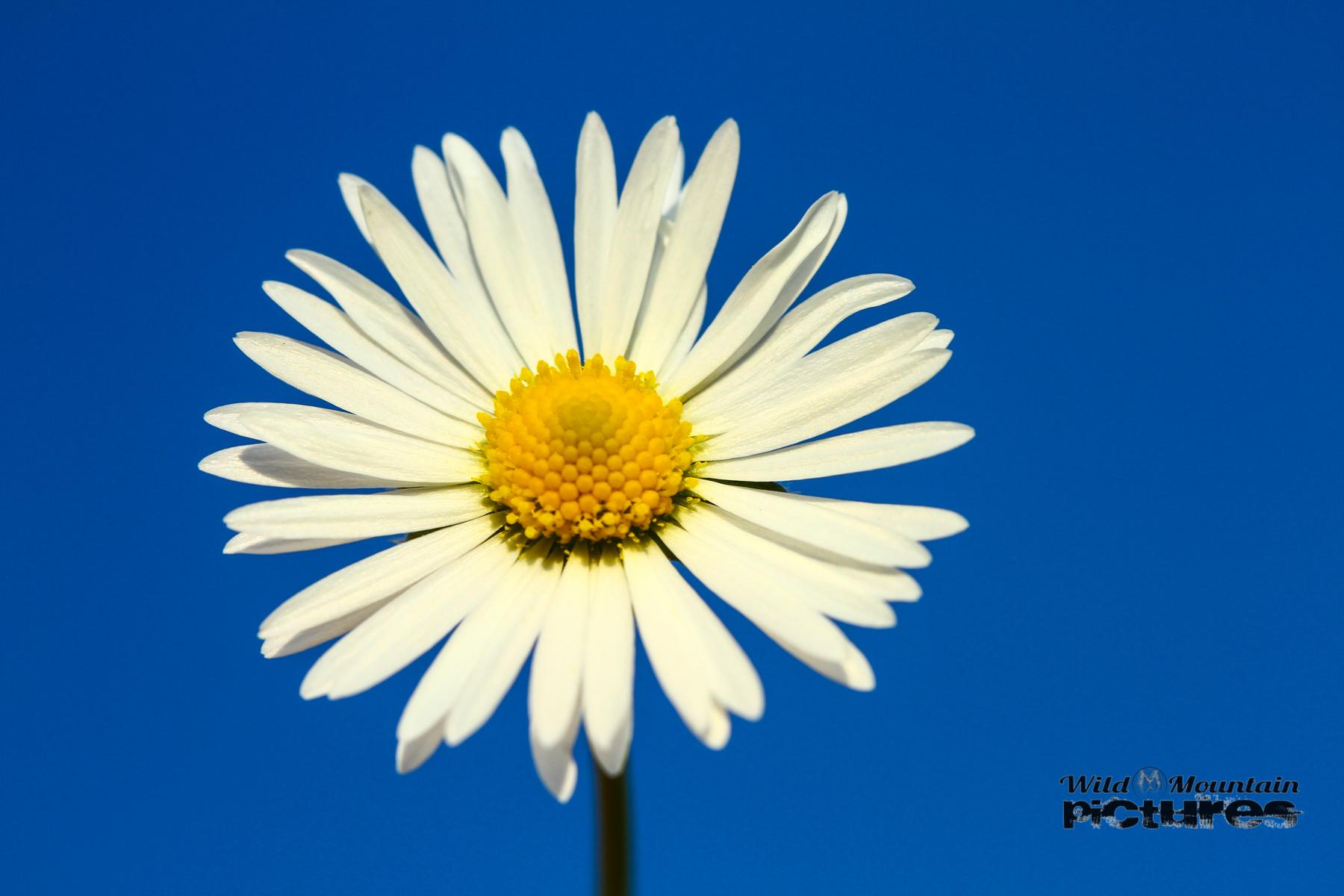 Gänseblümchen Vor Blauem Himmel