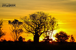 Boab-Trees At Sunset 2
