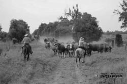 Viehtrieb auf Myella-Farm_11