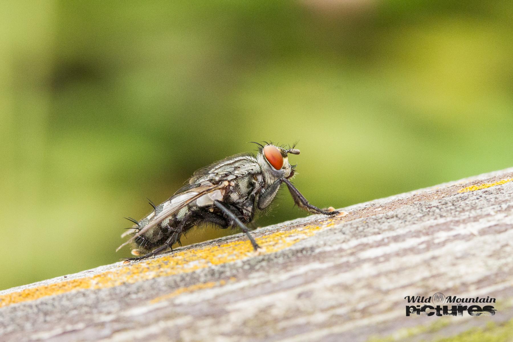 Fliege Auf Holz