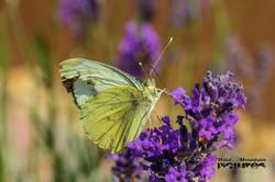 Zitronenfalte Auf Lila Blüte