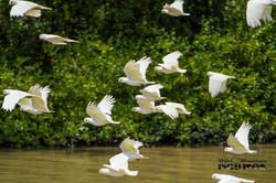 Cockatoos Flying