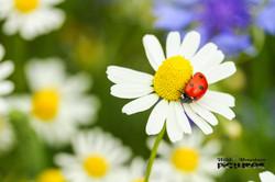 Marienkäfer auf Kamillenblüte