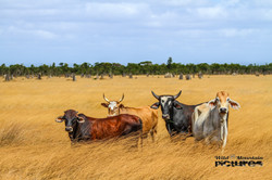 Cattle In Front Of Termite Mouds