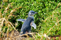 Pinguin On Phillip Island