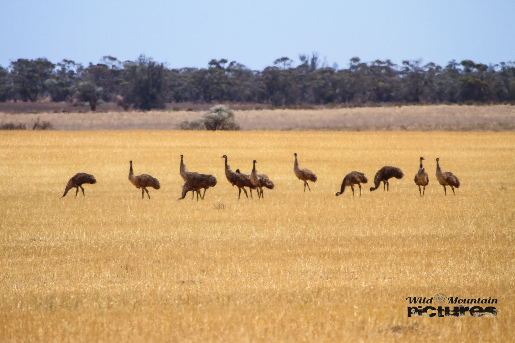 Some Emus
