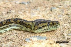 Head Of A Carpet Phython