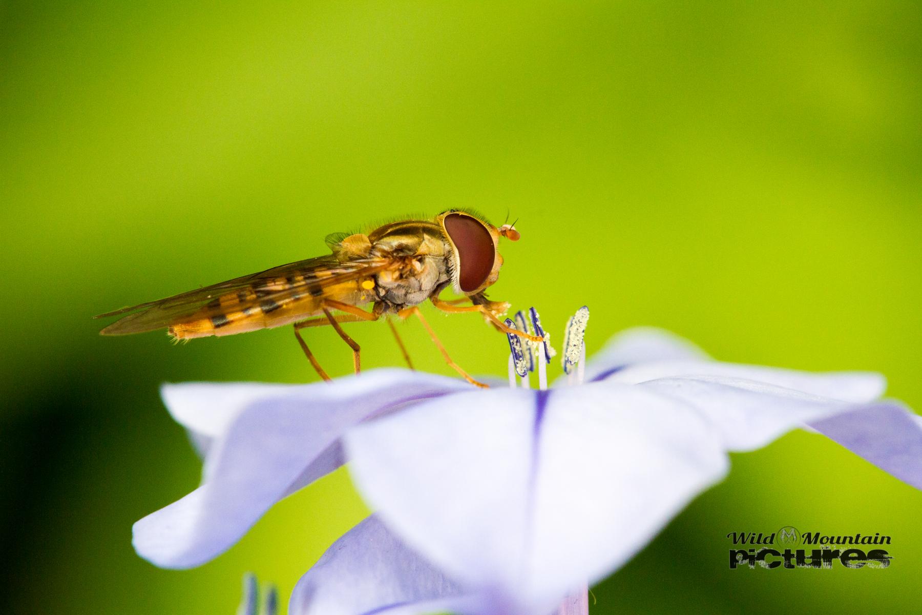 Schwebfliege Auf Blauer Blüte
