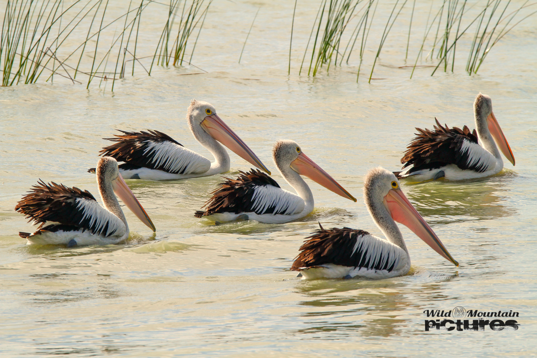 Some Pelicans