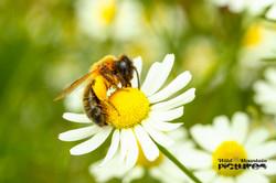 Biene Auf Kamillenblüte