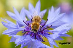 Biene auf Blauer Kornblume 1