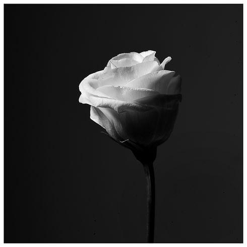 Flower Rose Vanité Still Life Portrait Photograph Photography Photographer Photographe Paris Lifestyle Style Fashion Art Print Magazine