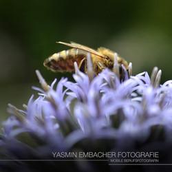 Tierfotografie Biene_ Yasmin Embacher Fotografie