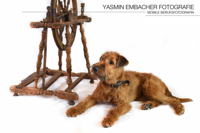 Hund mit Spinnrad