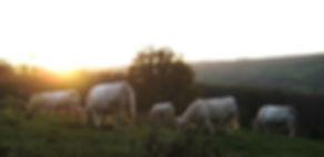 Les vaches charolaises dans les prairies à Blanot 71250