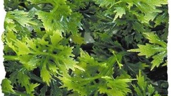 Zoo Med Natural Bushy Asutralian Maple