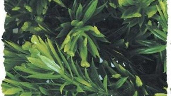 Zoo Med Natural Bush Borneo Star Plant Large