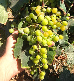 La-Violetta-grapes.jpg