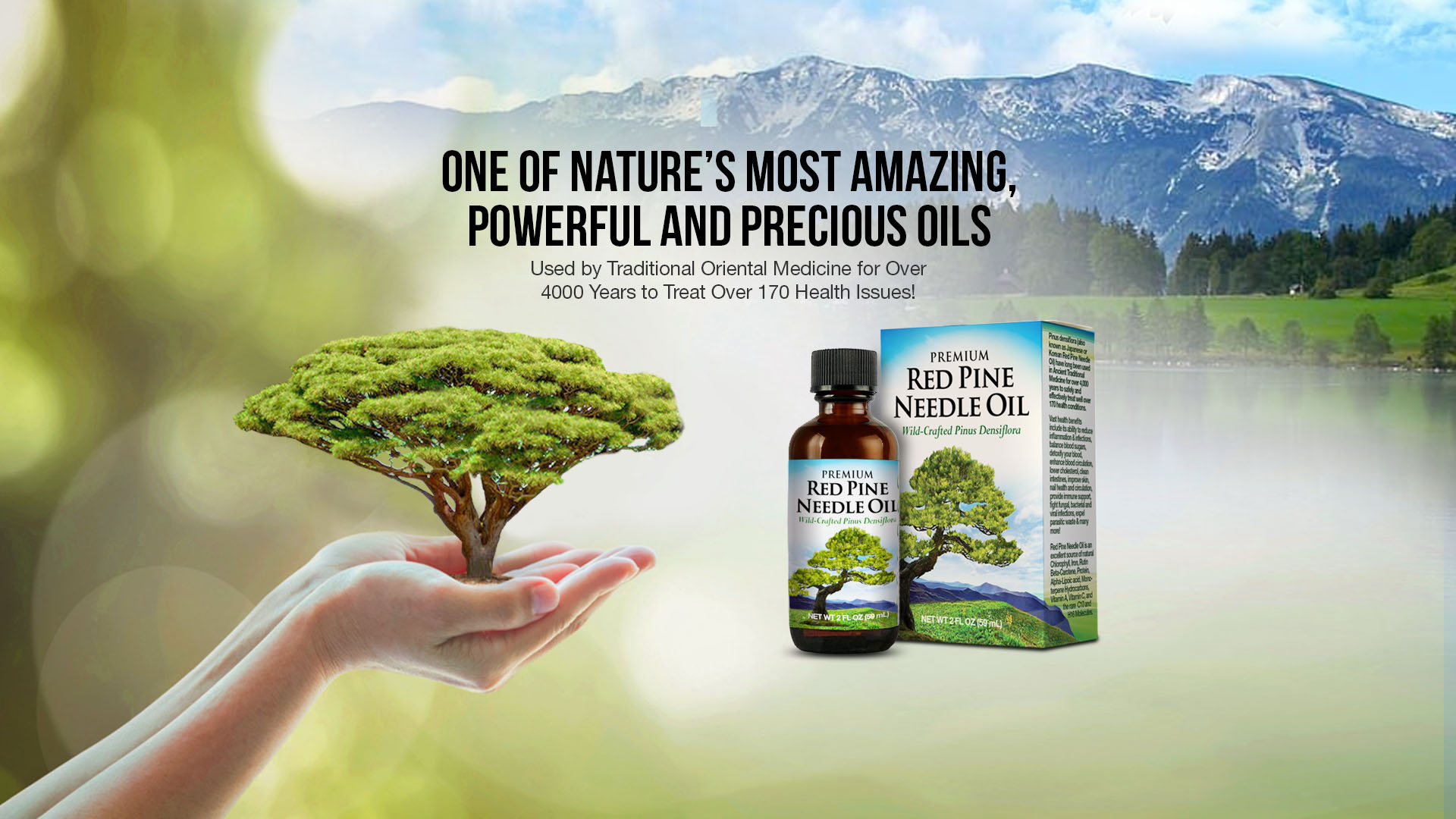 Red Pine Needle Oil Pinus Densiflora
