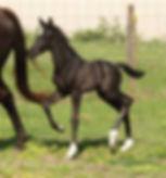 Aquafarms foal black.jpg